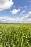 Green field. And a cloudy sky in the spring. Cultivation of crops - cereals. Landscape photography Royalty Free Stock Photo
