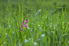 green field. green  grass. Royalty Free Stock Image