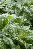 A green field of green savoy cabbage Stock Photo