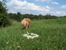 Green Field Gus bye bye2. Chow mix dog breed walking in scenic Missouri landscape with grass, flowers and trees all around Stock Photography