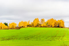 Green field on a hill of yellow birch  background cloudy sky aut Royalty Free Stock Images