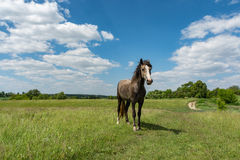 Green field with horse Royalty Free Stock Photos