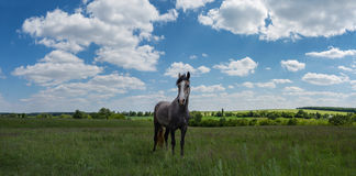 Green field horse Stock Image