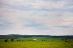 Green field with horse and blue sky Stock Image
