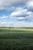 Green field in hot summer day. Royalty Free Stock Photos
