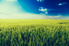 Green field landscape, barly plants over blue sky. Royalty Free Stock Photos