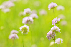 Green field with light wild flowers Royalty Free Stock Image