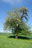 Green field with lone tree apple blossom Royalty Free Stock Image