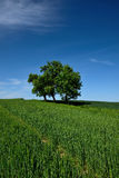 Green field with lone tree Stock Photos
