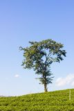 Green field and lonely tree Royalty Free Stock Images