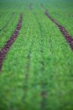 Green field with a lovely perspective Royalty Free Stock Image