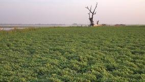 Green field in Mandalay, Myanmar stock video footage