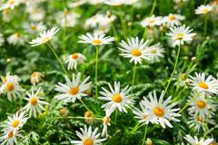 Green field with many white flowers. Of Matricaria plants Stock Photos