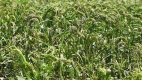 Green field of millet stock footage