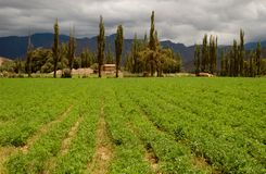 Green field in mountainscape. Green field in scenic, mountain area in north western argentina Stock Images