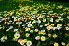 Green field with myriads of daisies. Lovely spring photography with a daisies avalanche on a green meadow. The perfect place to start making some daisy chains Royalty Free Stock Image