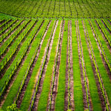 Green field New Zealand. Winery green field landscape. Location: New Zealand Royalty Free Stock Images