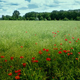 Green field with poppies. Recreating the light of the impressionist paintings Stock Photography