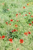 Green field with poppies closeup. Royalty Free Stock Photos