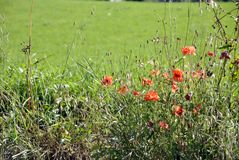 A green field with poppies Stock Image