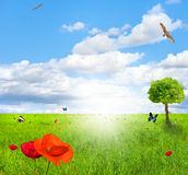Green field with poppy Royalty Free Stock Image