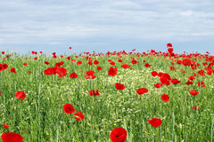 Green field poppy flowers and blue sky Royalty Free Stock Photos