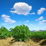 Green field of potato crops Royalty Free Stock Photography