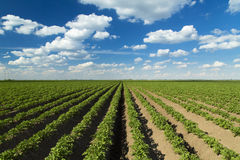 Green field of potato Royalty Free Stock Photography