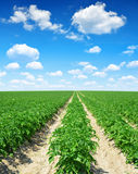 Green field of potato crops in a row. Royalty Free Stock Photography