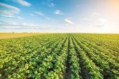 Green field of potato crops in a row stock photography