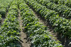 Green field of potato crops in a row stock images