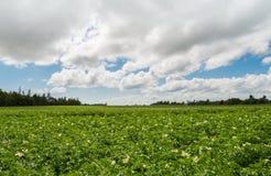 Green field of potatoes Stock Photo