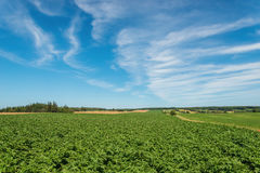 Green field of potatoes Stock Images