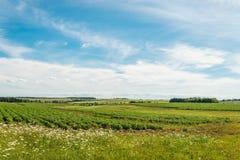 Green field of potatoes Stock Image