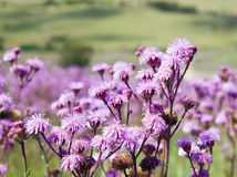 Green field of purple flowers lilac. Meadow Royalty Free Stock Photo