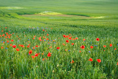 Green field with red flowers   Stock Photography