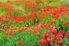 Green field and red poppies Royalty Free Stock Photo