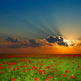 Green field with red poppies Stock Photo