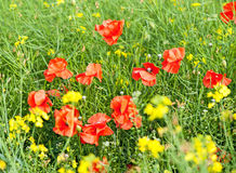 Green field with red poppies Stock Images