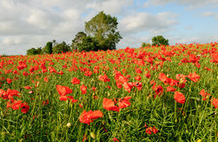 Green field with red poppies Royalty Free Stock Images