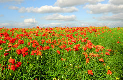 Green field with red poppies Stock Photography