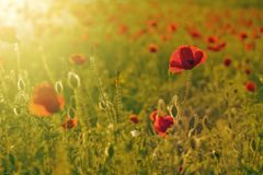 Green field of red poppies. Field of red poppies, copy space Royalty Free Stock Image
