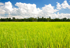 Green field of rice Stock Photos