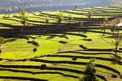 Green field of rice Royalty Free Stock Photography