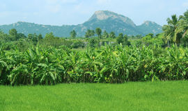 Green field of rice and banana trees. Scenery of green rice field and banana trees with hills Royalty Free Stock Images