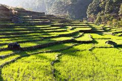 Green field of rice in nepal Stock Photos