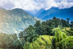 Green field of rice in nepal Stock Photography