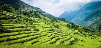 Green field of rice in nepal Royalty Free Stock Photography