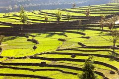 Green field of rice in nepal Stock Images