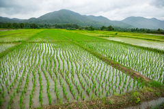 Green field of rice plant with water. Green field rice plant with water Royalty Free Stock Image